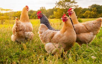 Grippe aviaire – renforcement des mesures de biosécurité